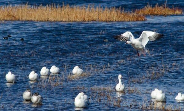 Snow Geese-0